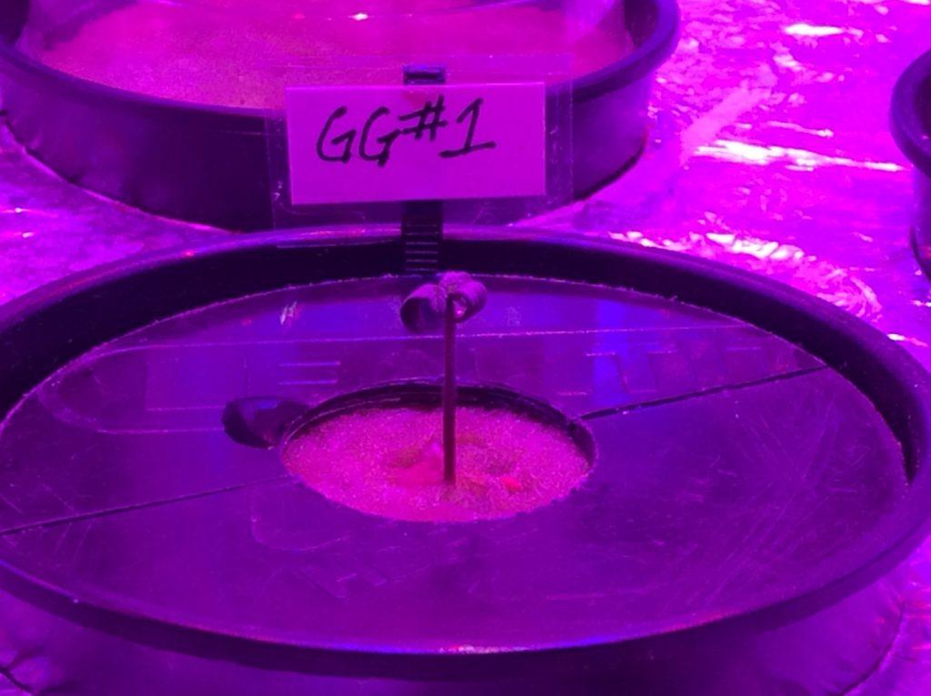 1/27/17 Gorilla Glue Grow Update