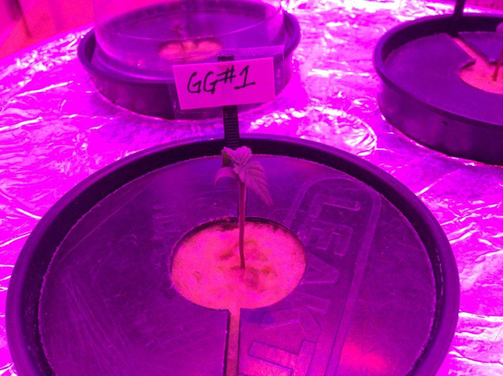 1/30/17 Gorilla Glue Grow Update